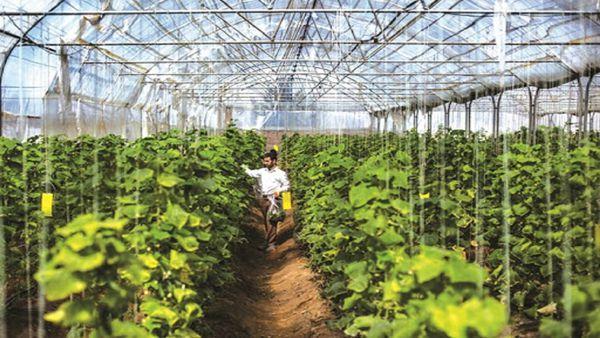 آغاز به کار اولین گلخانه هیدروپونیک آزادشهر با کشت خیار