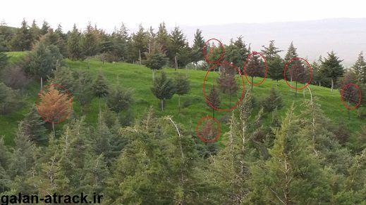 خزان بهاری برای درختان کاج گردنه مراوه تپه