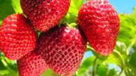 رونق کشت توت فرنگی در بندگز