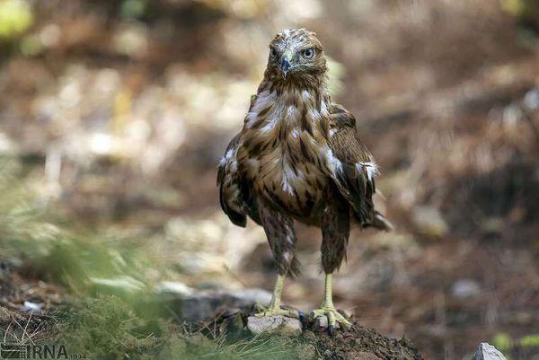 تحویل عقاب مصدوم به محیط زیست گرگان