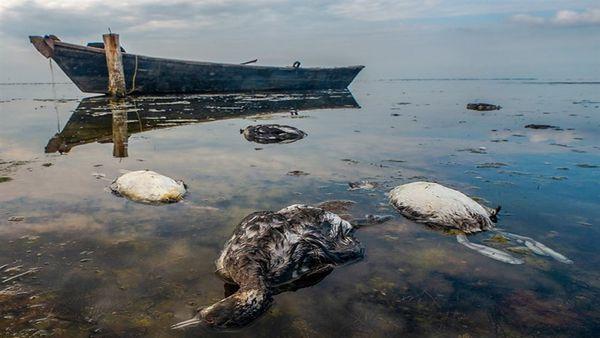 سایه شوم مرگ بر سر خلیج گرگان / تداوم مرگ و میر تلخ پرندگان مهاجر در تالاب میانکاله