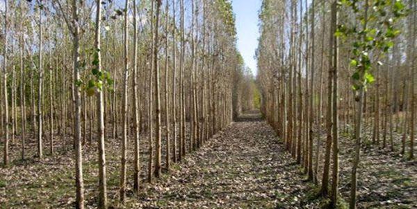 توسعه زراعت چوب بدون رفع مشکلات به بنبست میرسد/ تولیدکننده چوب بینصیب از طرحهای حمایتی