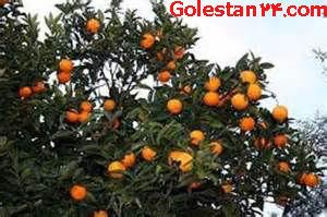 آغاز برداشت نارنگی نوبرانه استان گلستان