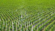 خشکه کاری، روشی مناسب برای توسعه کشت برنج در گلستان