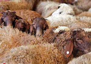 واردات ۴۰۰ راس گوسفند زنده از قزاقستان به گلستان