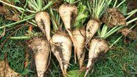 پیش بینی تولید بیش از ۱۴۰ هزار تن چغندر قند درگلستان