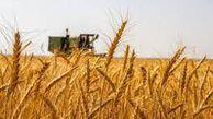 خرید  ۳۳۵ هزار تن گندم از کشاورزان گلستانی