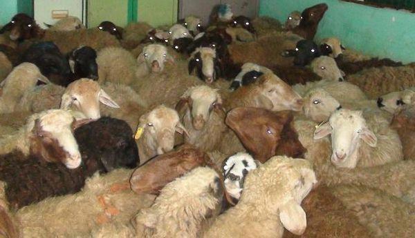 سارق ۳۰ راس گوسفند در آزادشهر به دام افتاد