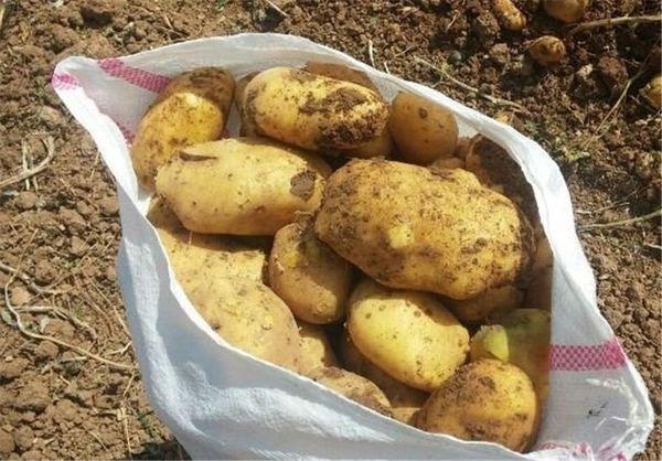 کشاورزان استان از قیمت سیب زمینی رضایت دارند