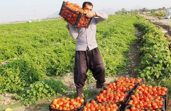 رامیان قطب تولید گوجه فرنگی گلستان است