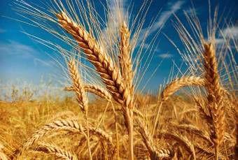 گندمکاران گلستانی آفت زاگرس را در مزارع جدی بگیرند