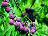 برداشت ۲۸۰۰۰ تن انواع آلو از باغهای استان گلستان