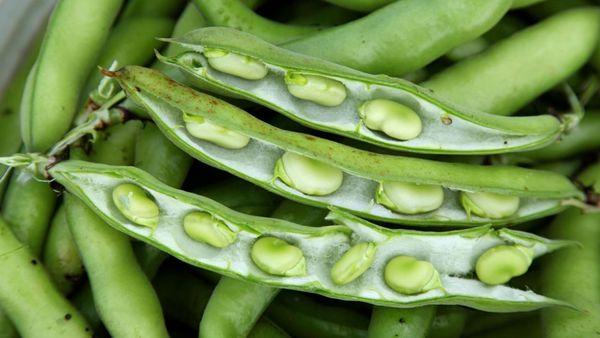 برداشت ۳۵ درصدی باقلا در گلستان