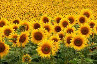زراعت آفتابگردان به سمپاشی کمتری نسبت به سایر محصولات کشاورزی دارد