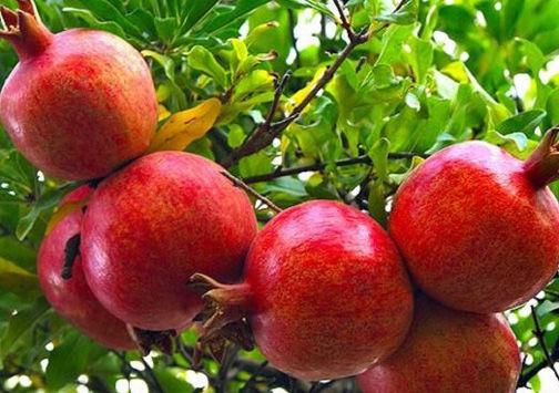 برداشت بیش از ۲ هزار تن انار از باغات گلستان
