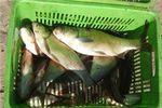 دستهای پشت پرده در واردات ماهیهای آلوده به کشور