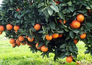 برداشت پرتقال نوبرانه در گلستان / پیش بینی تولید بیش از ۶۰ هزار تن