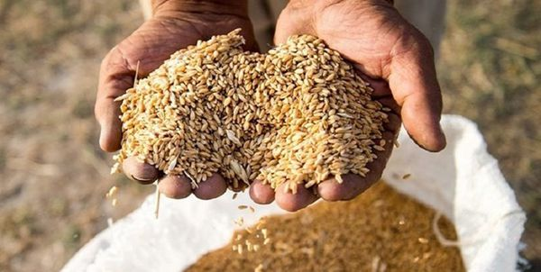 هشدار جدی بیماریهای «زنگ زرد» و «زنگ قهوهای» گندم در مزارع آققلا