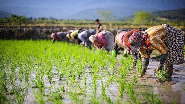 خشکی در کمین شالیزارها / لزوم کاهش ۴۰ درصدی سطح کشت شالی در گلستان