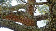 حدود ۴۰ درصد از درختان پارک ملی گلستان دچار امراض و آفات شده اند