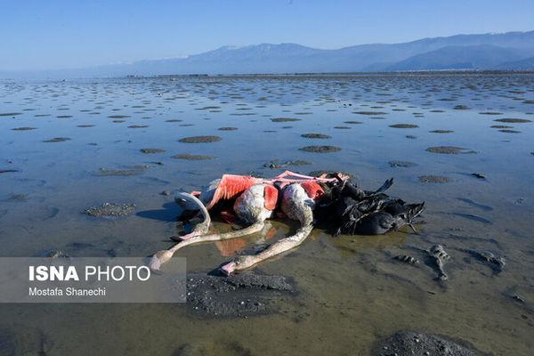 چرا تلفات پرندگان فقط در خلیج گرگان اتفاق میافتد؟