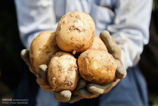 خرید تضمینی نوشداروی بعد مرگ/حذف موانع صادرات سیبزمینی ازگلستان