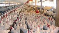 مرغداران مقصر اصلی کمبود و گرانی مرغ! / مردم مرغ گران نخرند