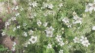 آغاز برداشت سیاهدانه در گلستان از هفته آینده