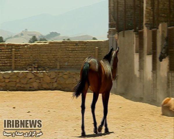 ثبت نام پانزدهمین جشنواره زیبایی ملی اسب اصیل ترکمن