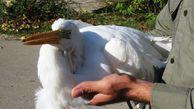 تحویل یک قطعه حواصیل سفید  به حیات وحش روستای چپاقلی