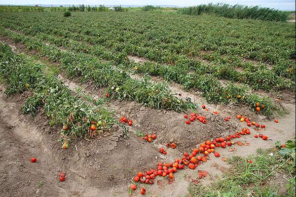 گوجه را در گلستان شخم میزنند!