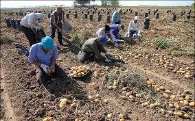 پرداخت ۶۰ درصد مطالبات سیب زمینی کاران