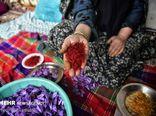 میزان برداشت زعفران در «زیارت» گرگان ۴۰۰ درصد افزایش یافت