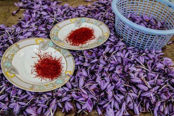 زعفران گلستان برای رونق بیشتر به صنایع تبدیلی نیاز دارد