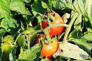 پیش بینی تولید ۱۸۰ هزار تن گوجه فرنگی در گلستان