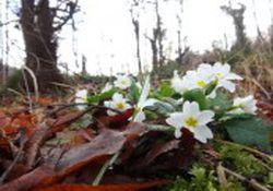 رویش گلها و شکوفه های بهاری در جنگلهای بندرگز در فصل زمستان/تصاویر