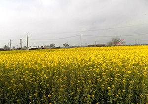 انعقاد قرار داد ۷۶ هزار هکتار کشت کلزا در گلستان