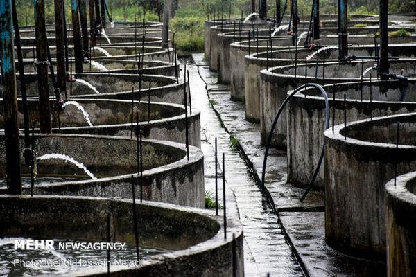 ۳ مرکز پرورش ماهی خاویاری در گنبدکاووس و بندرگز ایجاد می شود
