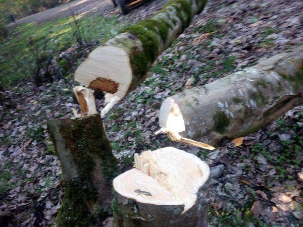 قطع درختان جنگلی در جعفرآباد گلستان