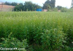 گزارش تصویری از مزرعه کنجد