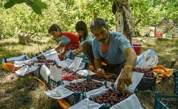۱۲۷ هزار تن میوه تابستانه در گلستان تولید شد