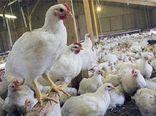 کشف بیش از ۲ هزار قطعه مرغ زنده فاقد مجوز در آزادشهر