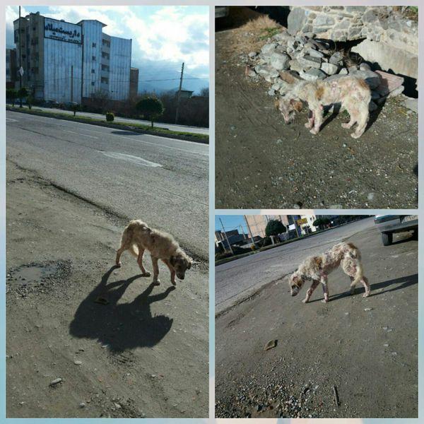 شهر کردکوی در احاطه سگ های ولگرد/مسئولین نسبت به جمع اوری این حیوانات اقدام کنند