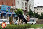 سریال دنباله دار وجود حیوانات در خیابان های آق قلا + تصاویر