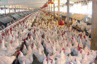 طوفان افزایش قیمت مرغ در گلستان/ قیمت مرغ در بازار گلستان رکورد زد