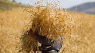 ۴۴ هزار تن گندم در آزادشهرتولید میشود