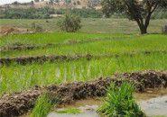 اصرار بر کشت شالی مساوی است با تحمل بحران آبی