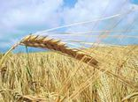 گندم یکی از محصولات بنیادی برای توسعه اقتصادی کشاورزی است