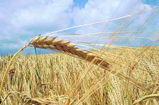 ارسال گندم گلستان به ۱۳ استان کشور