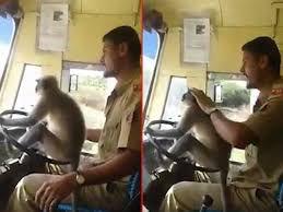 میمون در حال رانندگی! + عکس